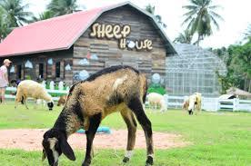 Pattaya Sheep Farm พัทยา