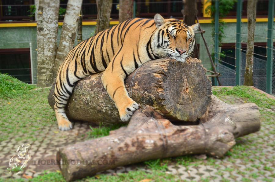 คุ้มเสือ แม่ริม-เสือหลับ