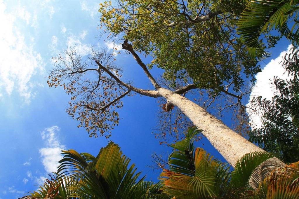 ดอยผาเเดง-ต้นไม้ใหญ่