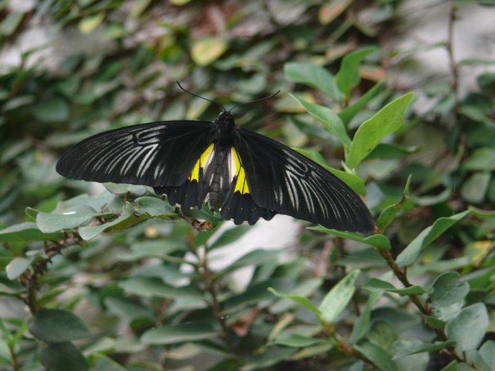 สวนผีเสื้อและโลกแมลง ภูเก็ต-ผีเสื้อ-หายาก