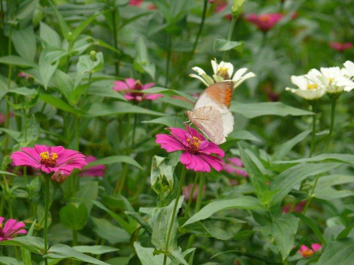 สวนผีเสื้อและโลกแมลง ภูเก็ต-ผีเสื้อ