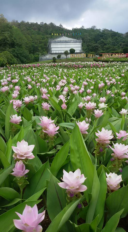 สวนพฤกษศาสตร์สมเด็จพระนางเจ้าสิริกิติ์-ทุ่งดอกไม้