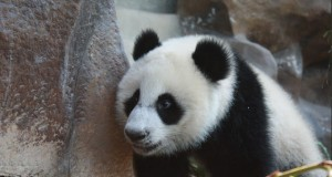 สวนสัตว์เชียงใหม่-เเพนด้า