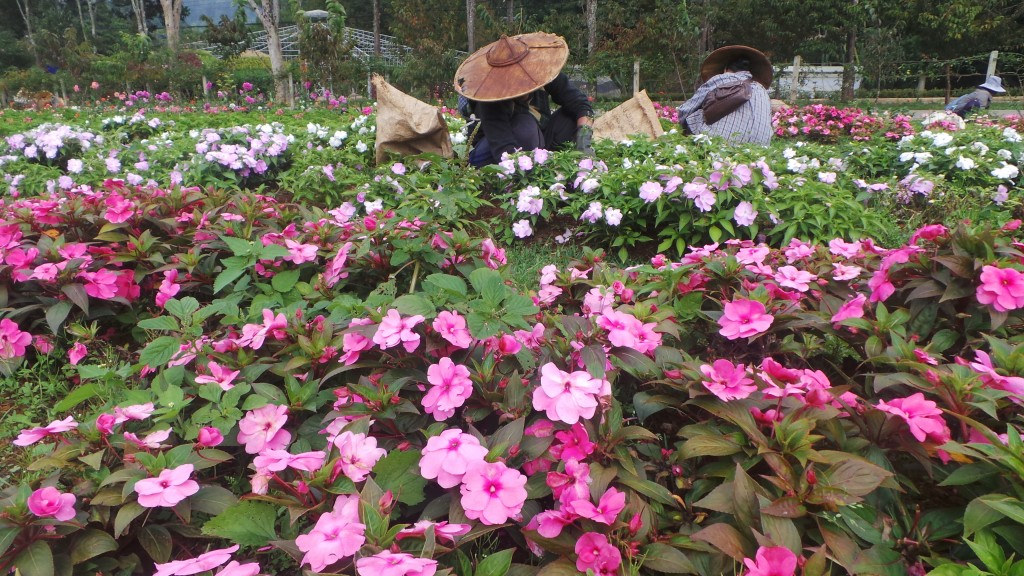 บรรยากาศภายในโครงการหลวงกับแปลงดอกไม้สีสด