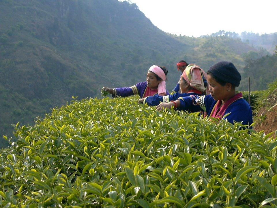 ไร่ชา 2000 ดอยอ่างขาง-ชาวเขา-เก็บใบชา