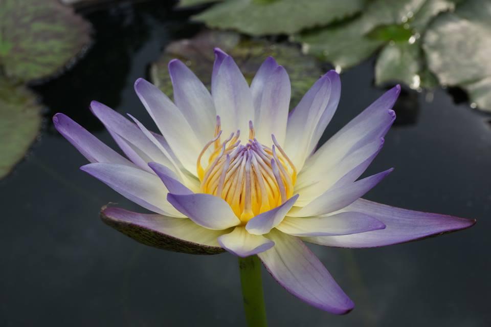 สวนสมเด็จพระนางเจ้าสิริกิติ์-ดอกบัวสวย