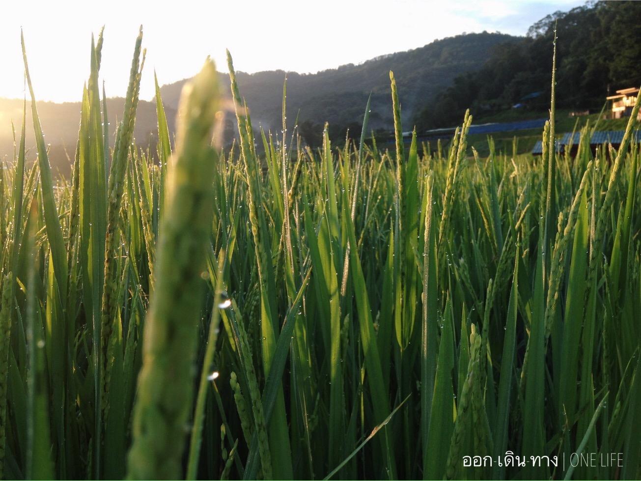 ปลายฝน ต้นหนาว รวงข้าวสีเขียวกำลังเติบโต นาขั้นบันได บ้านแม่กลางหลวง แม่แจ่ม เชียงใหม่